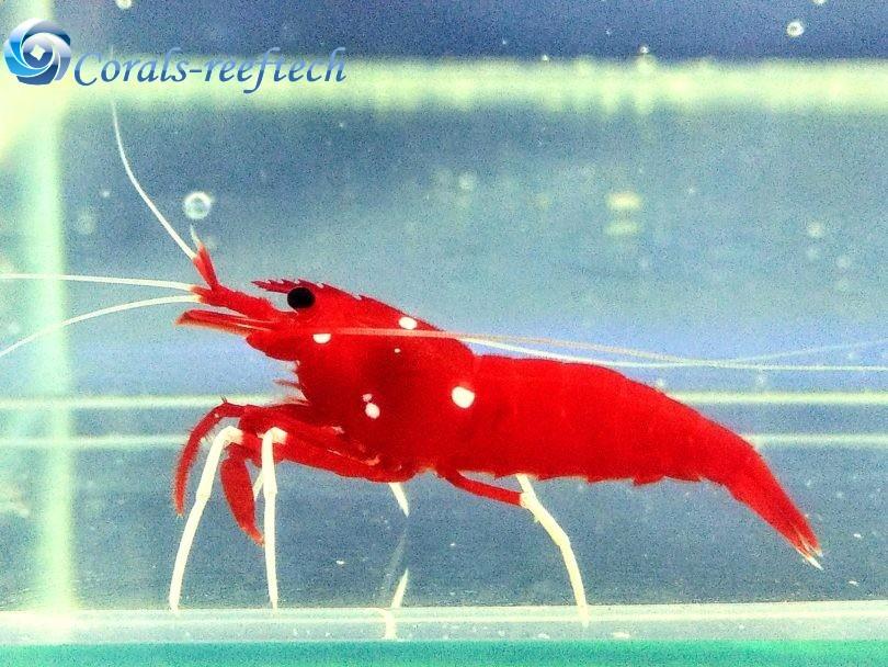 Kardinalsgarnele- Feuergarnele-Lysmata debelius