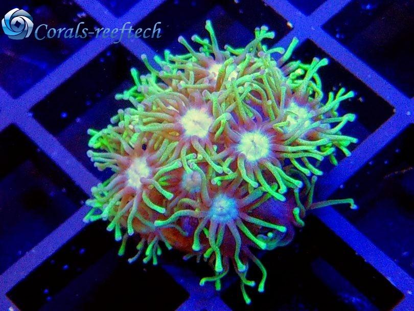 Goniopora ultra green WYSIWYG