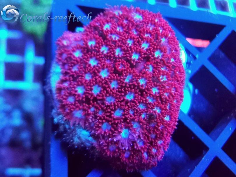Goniopora ultra cherry WYSIWYG