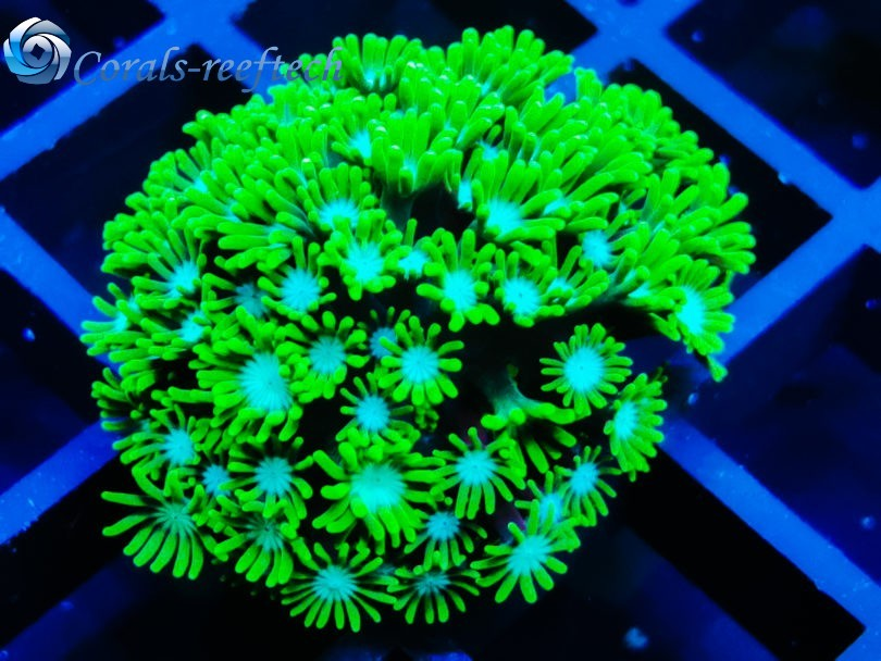 Alveopora green blue hallucination rare WYSIWYG