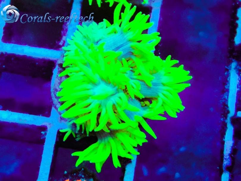 Goniopora crazy fluorescens WYSIWYG