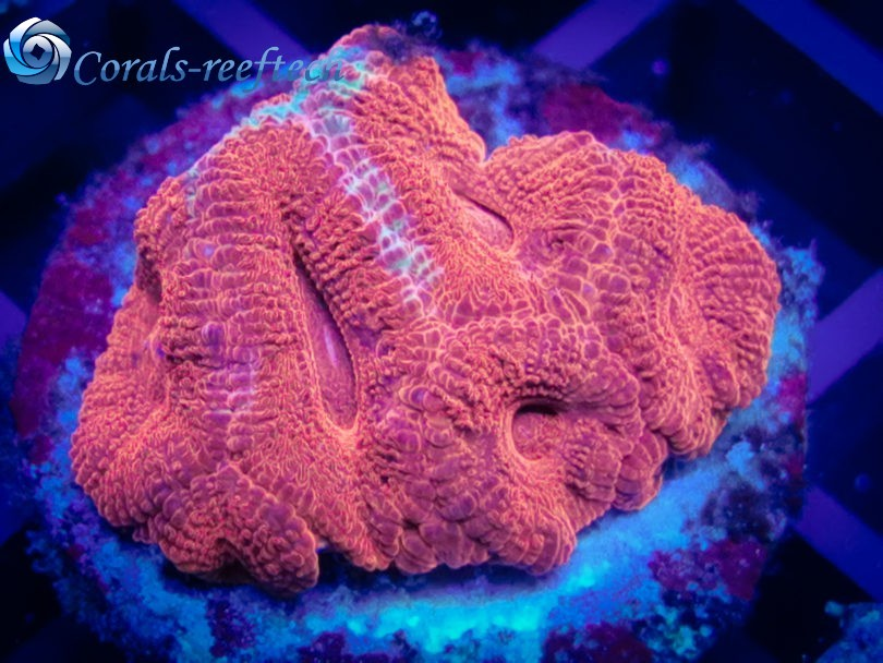 Acanthastrea Lordhowensis ultra fire red WYSIWYG