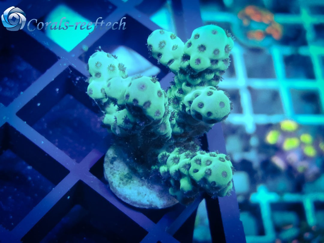 Acropora sarmentosa WYSIWYG