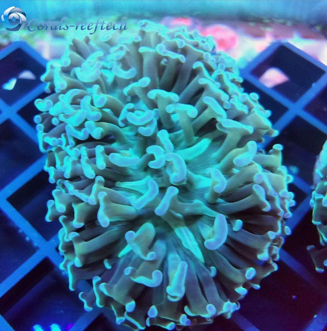 Euphyllia ancora green WYSIWYG