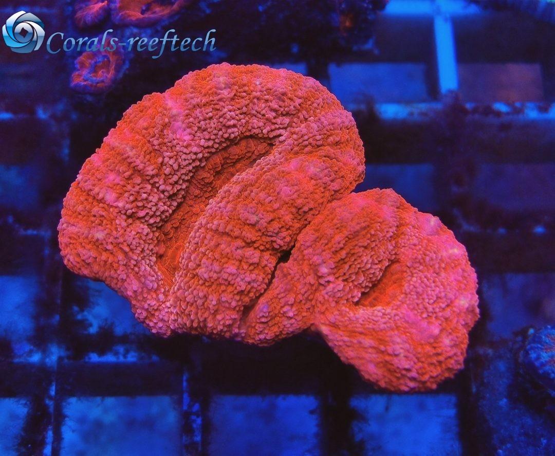 Lobophyllia ultra pink WYSIWYG