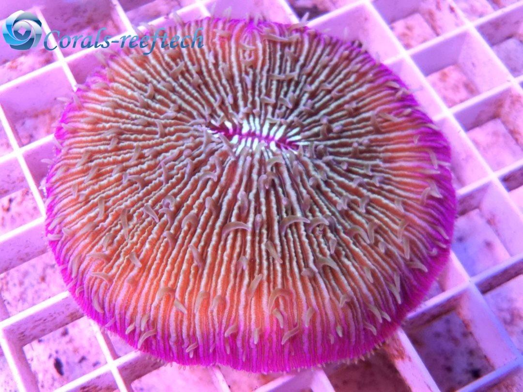 Fungia mint lila WYSIWYG