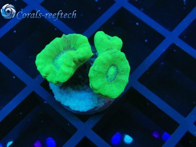 Caulastraea furcata ultra green WYSIWYG