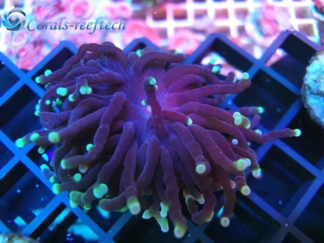 Euphyllia glabrescens ultra lila green WYSIWYG