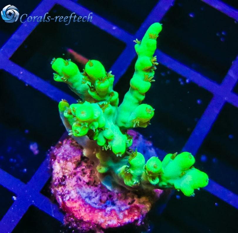 Acropora aculeus ultra green WYSIWYG