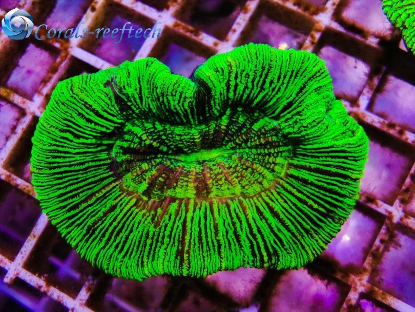 Trachyphyllia ultra green rare WYSIWYG