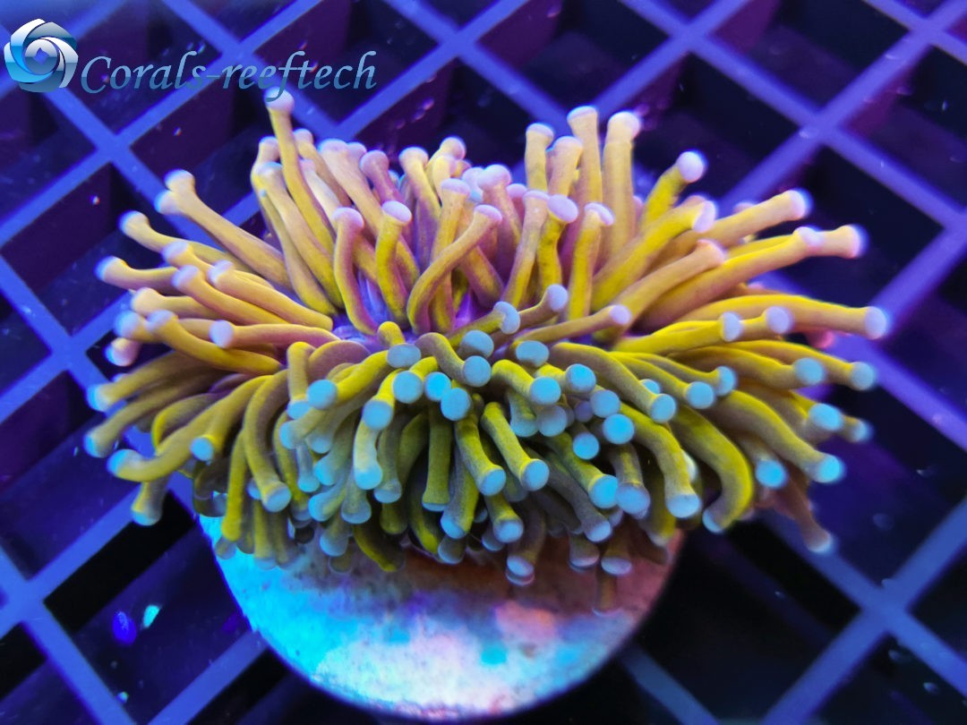 Euphyllia glabrescens golden torch 24K rare WYSIWYG