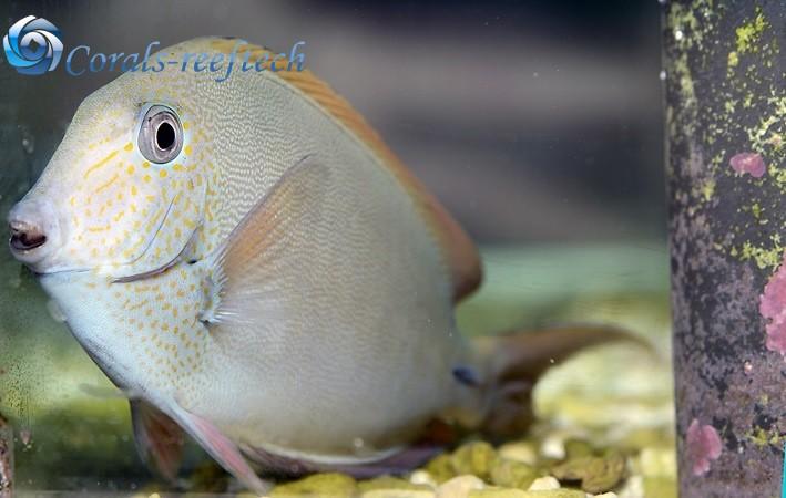 Acanthurus nigrofuscus Brauner Doktorfisch