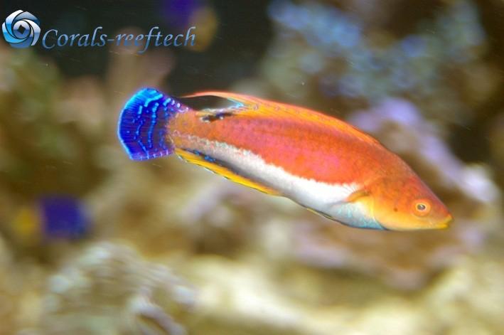 Cirrhilabrus filamentosus Wimpel Zwerglippfisch