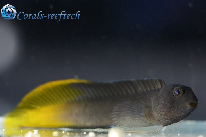 Enchelyurus flavipes Gelbschwanz-Blenny