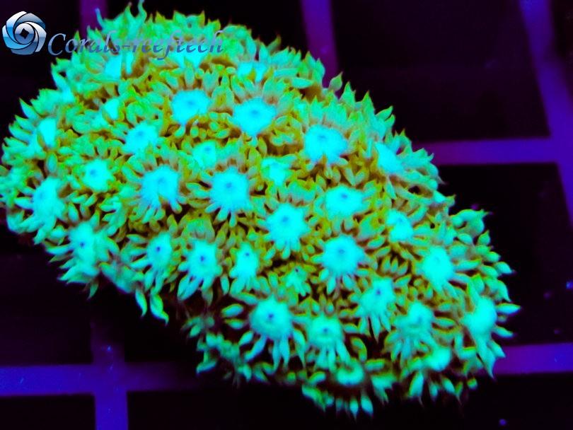 Goniopora ultra rare WYSIWYG