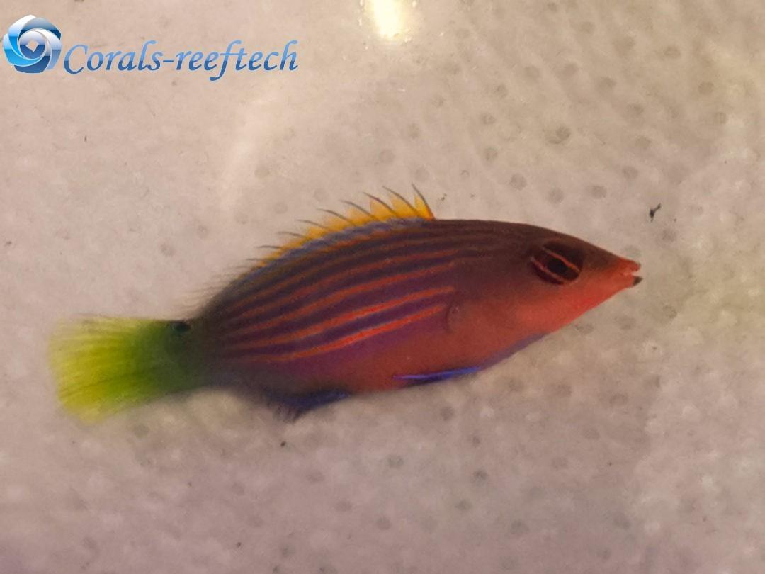 Pseudocheilinus hexataenia Sechsstreifen-Lippfisch