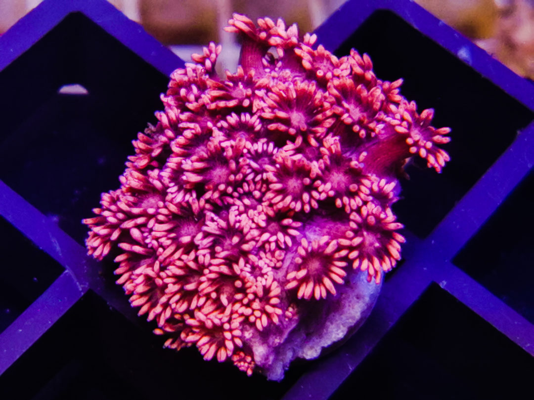 Goniopora ultra pink WYSIWYG LP