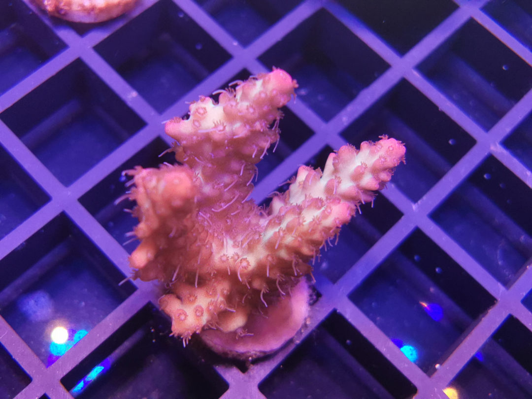 Acropora Strawberry Shortcake