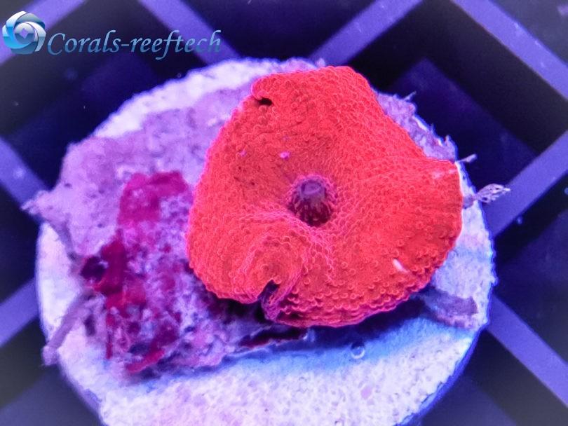 Jawbreaker Red scheibenanemone