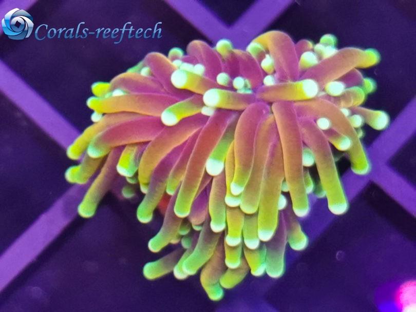 Euphyllia Glabrescens Golden Torch