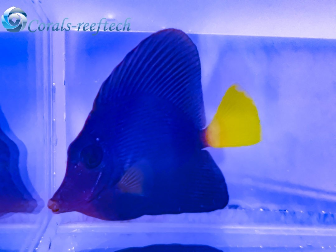 Zebrasoma xanthurum Rotmeer Doktorfisch