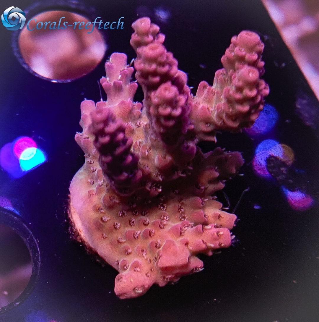 Acropora spp ultra indo