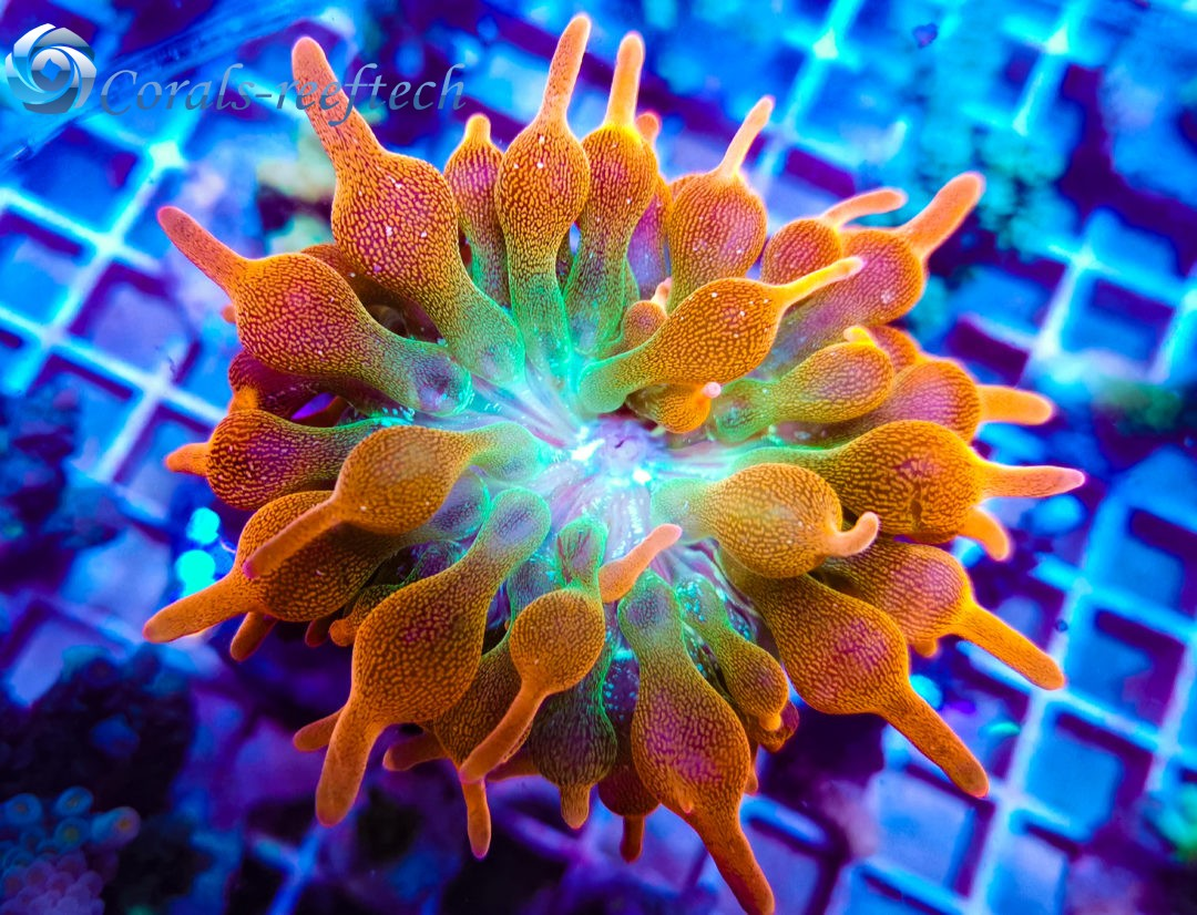 Entacmaea Quadricolor Sunburst