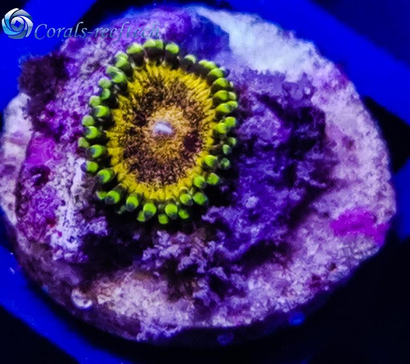 Zoa speckled krakatoa