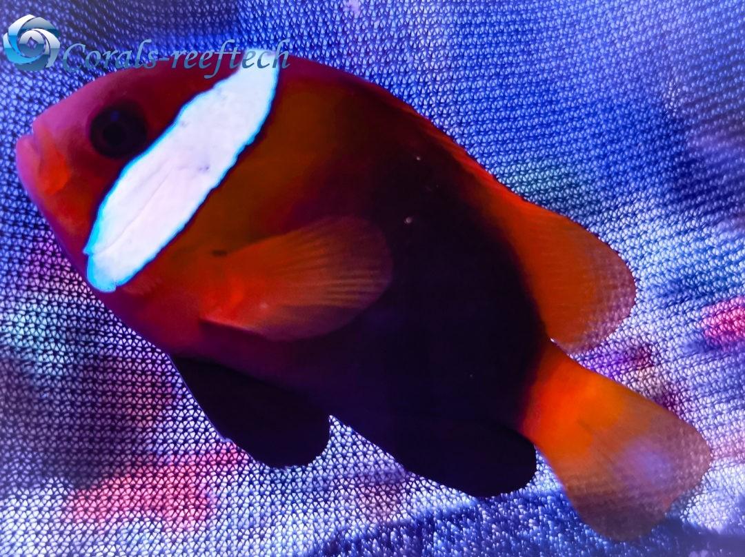 Schwarzflossen-Anemonenfisch