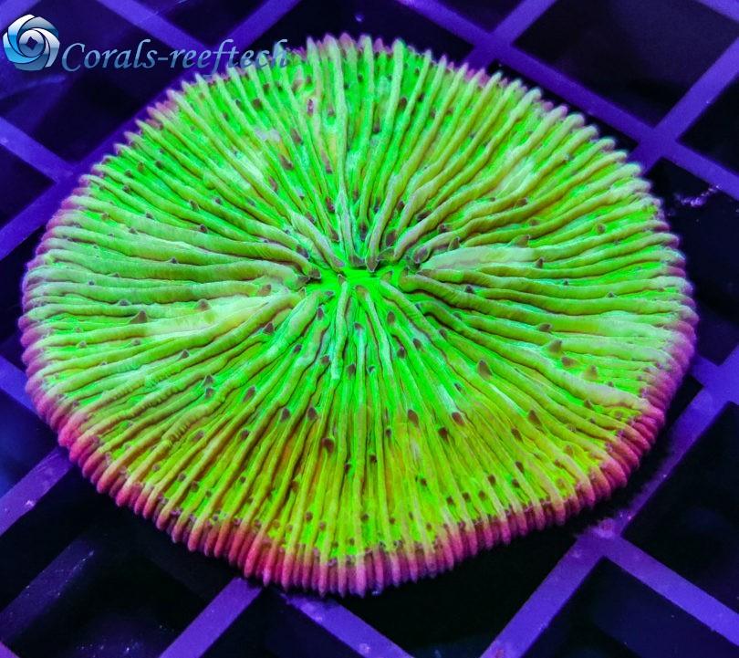 Fungia ultra grün
