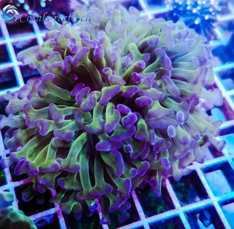 Euphyllia ancora ultra bicolor
