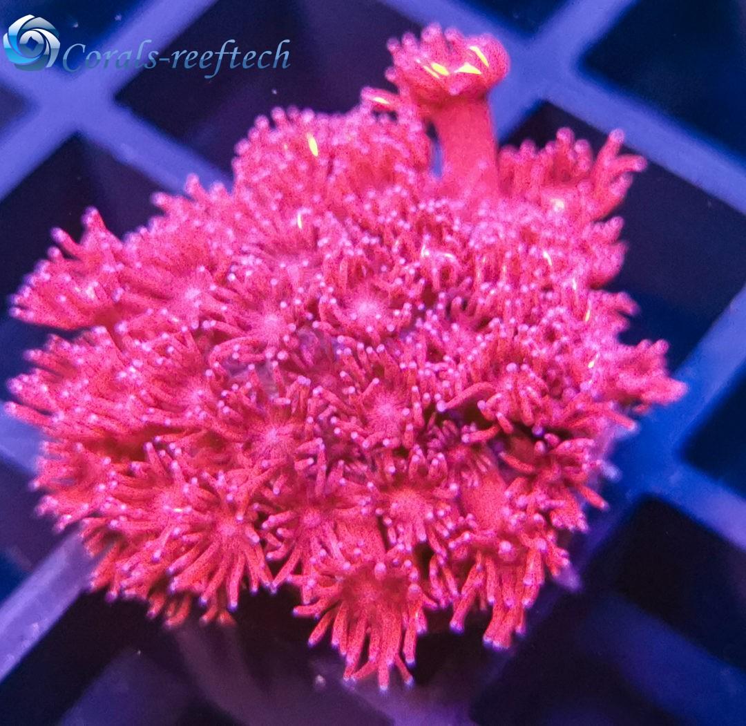 Goniopora ultra pink