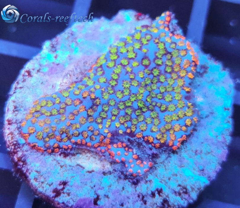 Montipora rainbow