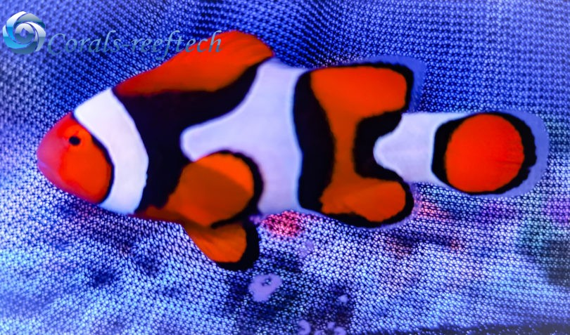 Der Echte Clownfisch