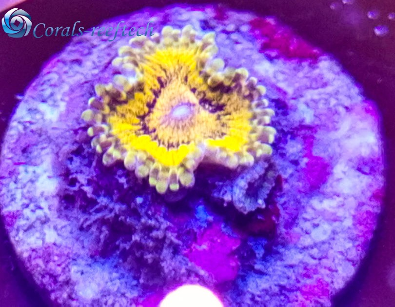 Zoas speckled krakatoa
