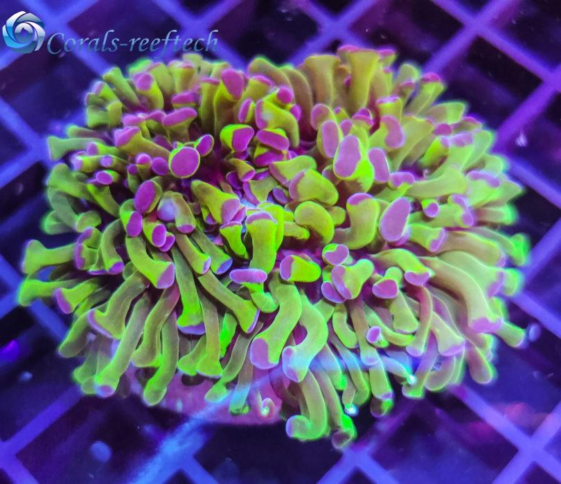 Euphyllia ancora atomic green