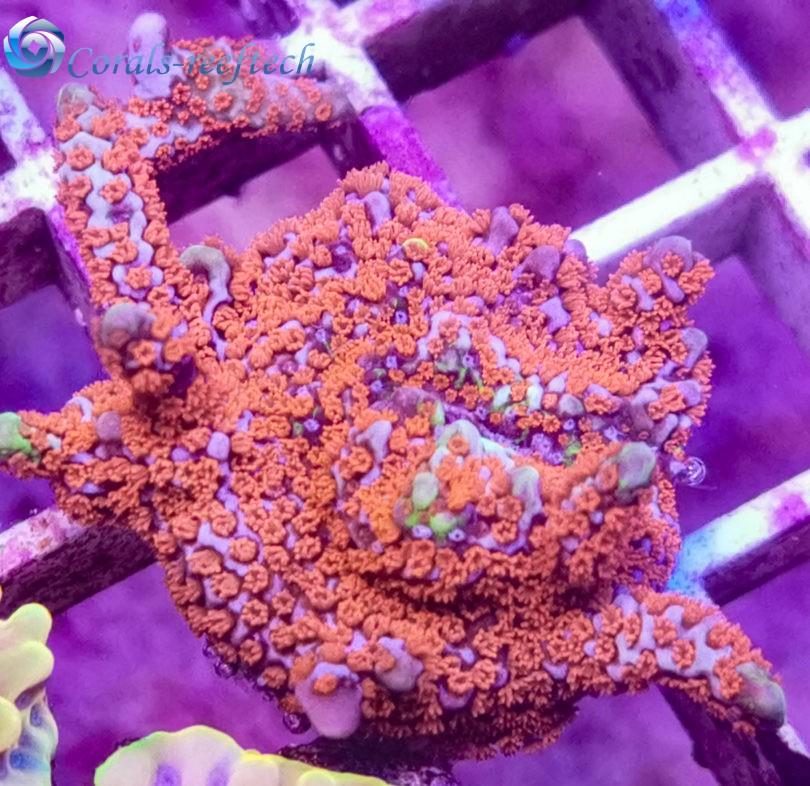 Montipora bubblegum