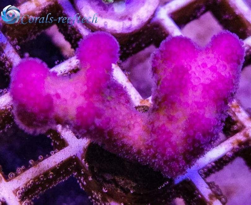 Stylophora ultra Fiji pink
