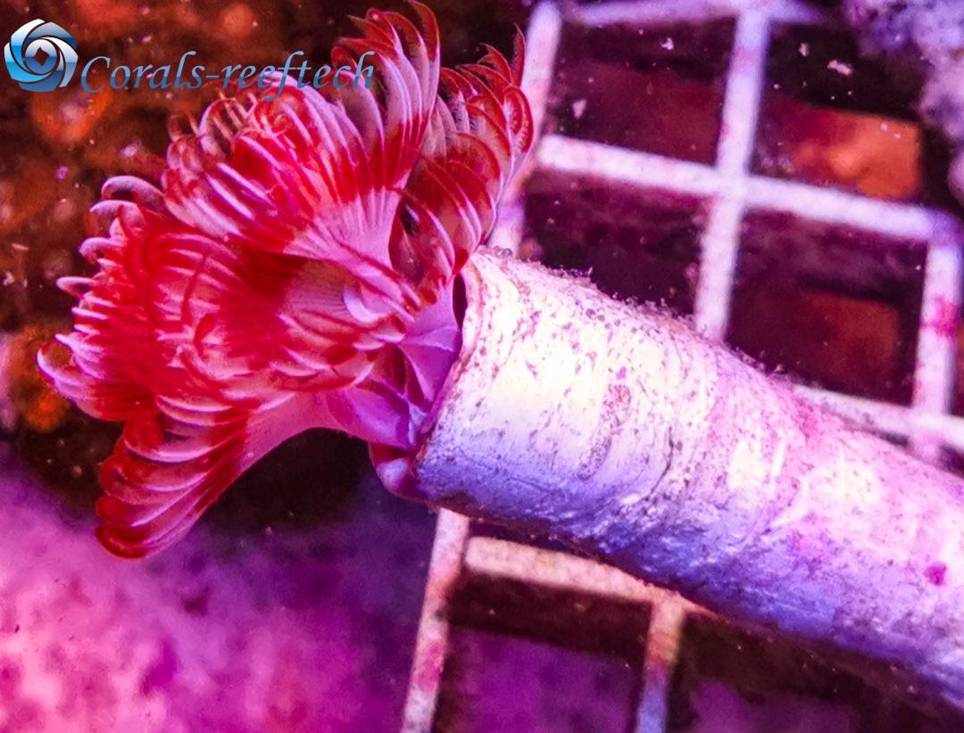 Pracht-Kalkröhrenwurm