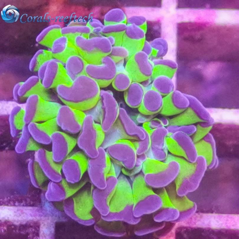 Euphyllia