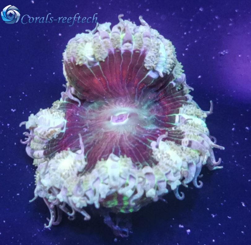 Rock anemone