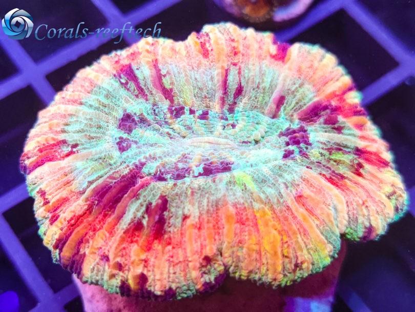 Trachyphyllia ultra raibow