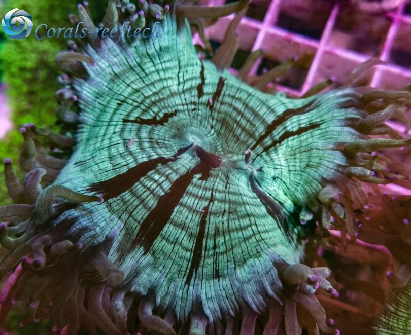 Catalaphyllia kaufen