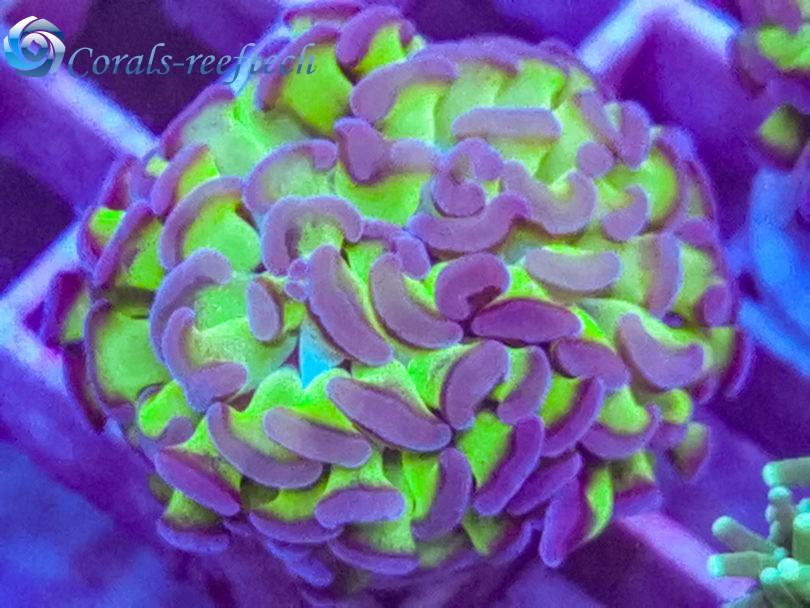 Euphyllia paraancora