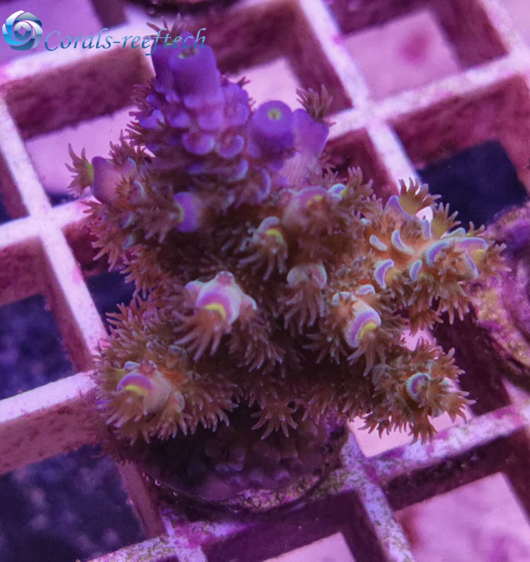 Acropora tenius kaufen