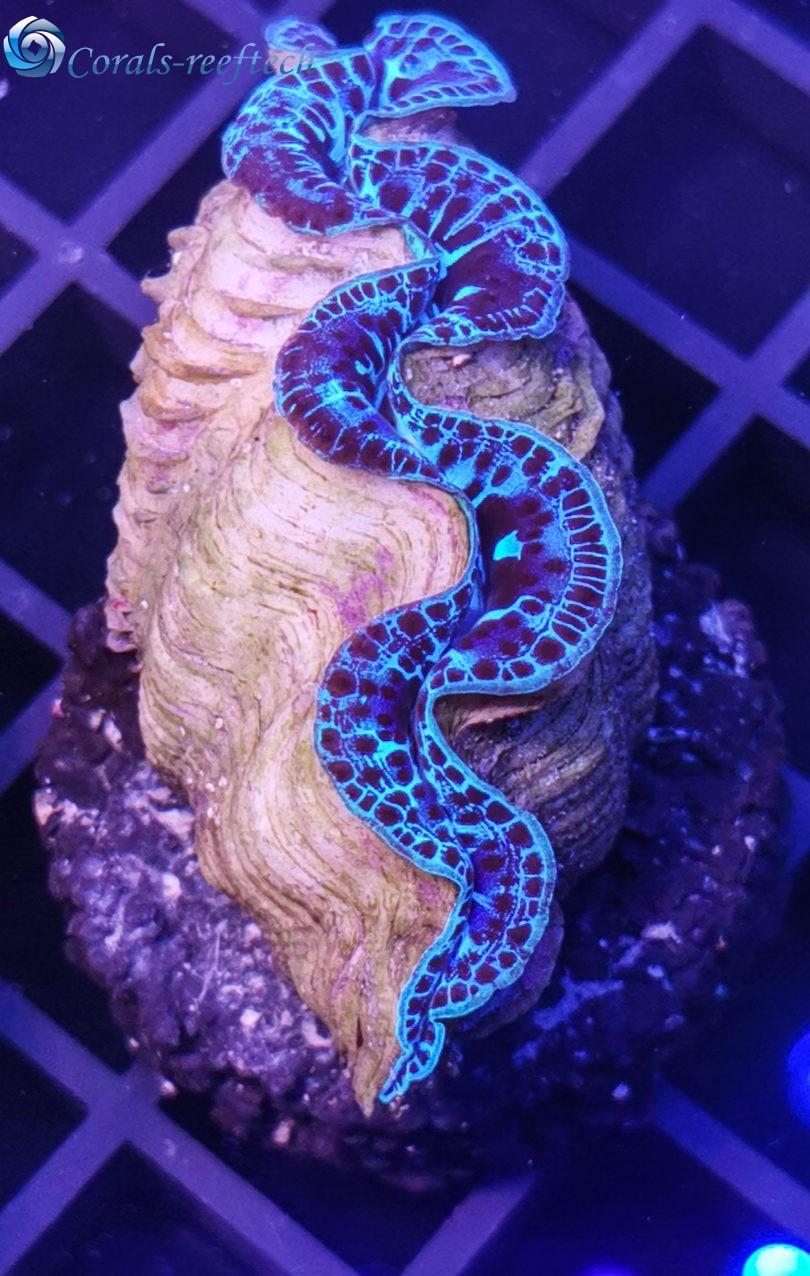 Tridacna maxima kaufen