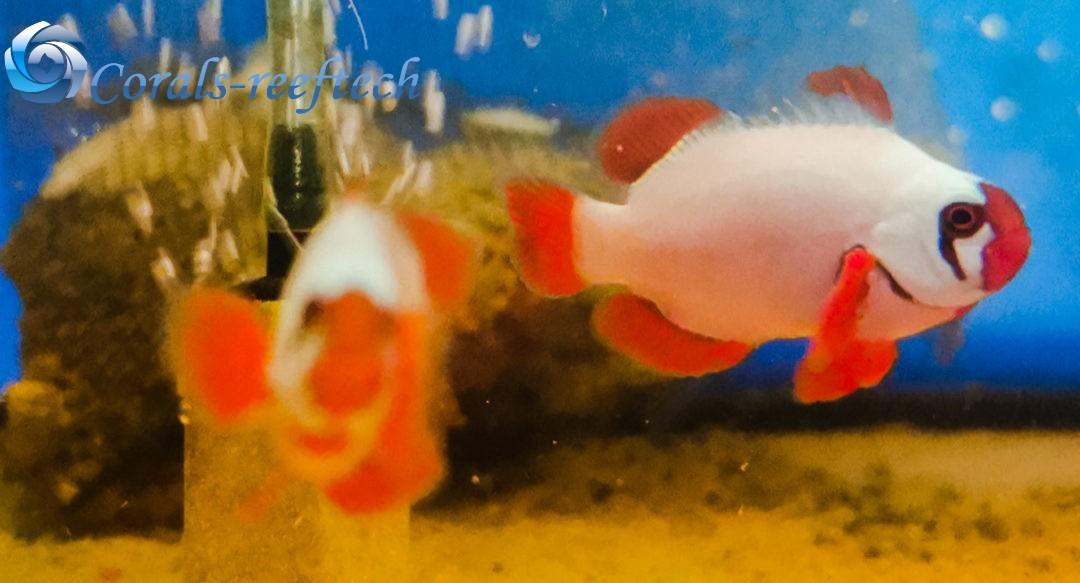 Gold Nugget MaroonClownfisch