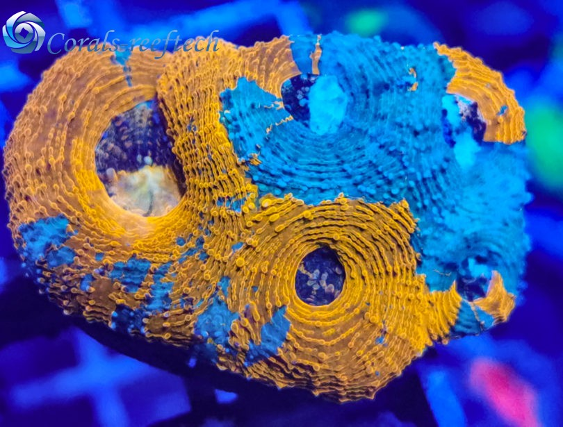 Acanthastrea echinata